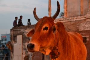 The saint cow