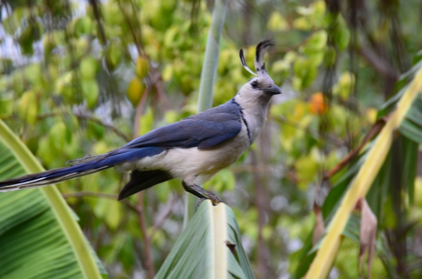 Ometepe bird